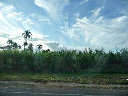 plantation de cannes à sucre