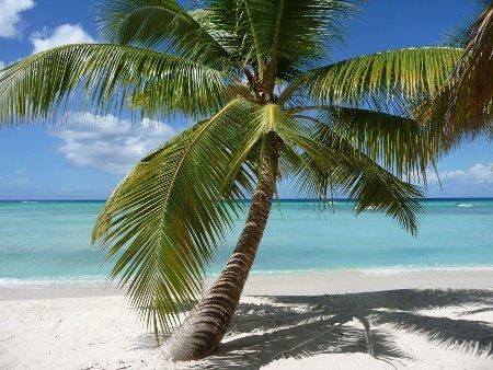 palmier sur l'île saona