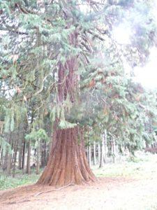 grand séquoia